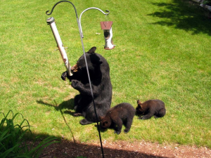 Bears at Bird Feeders - Photo Courtesy Michigan DNR