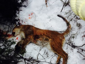 Two of three suspects plead guilty in illegal killing of Cougar