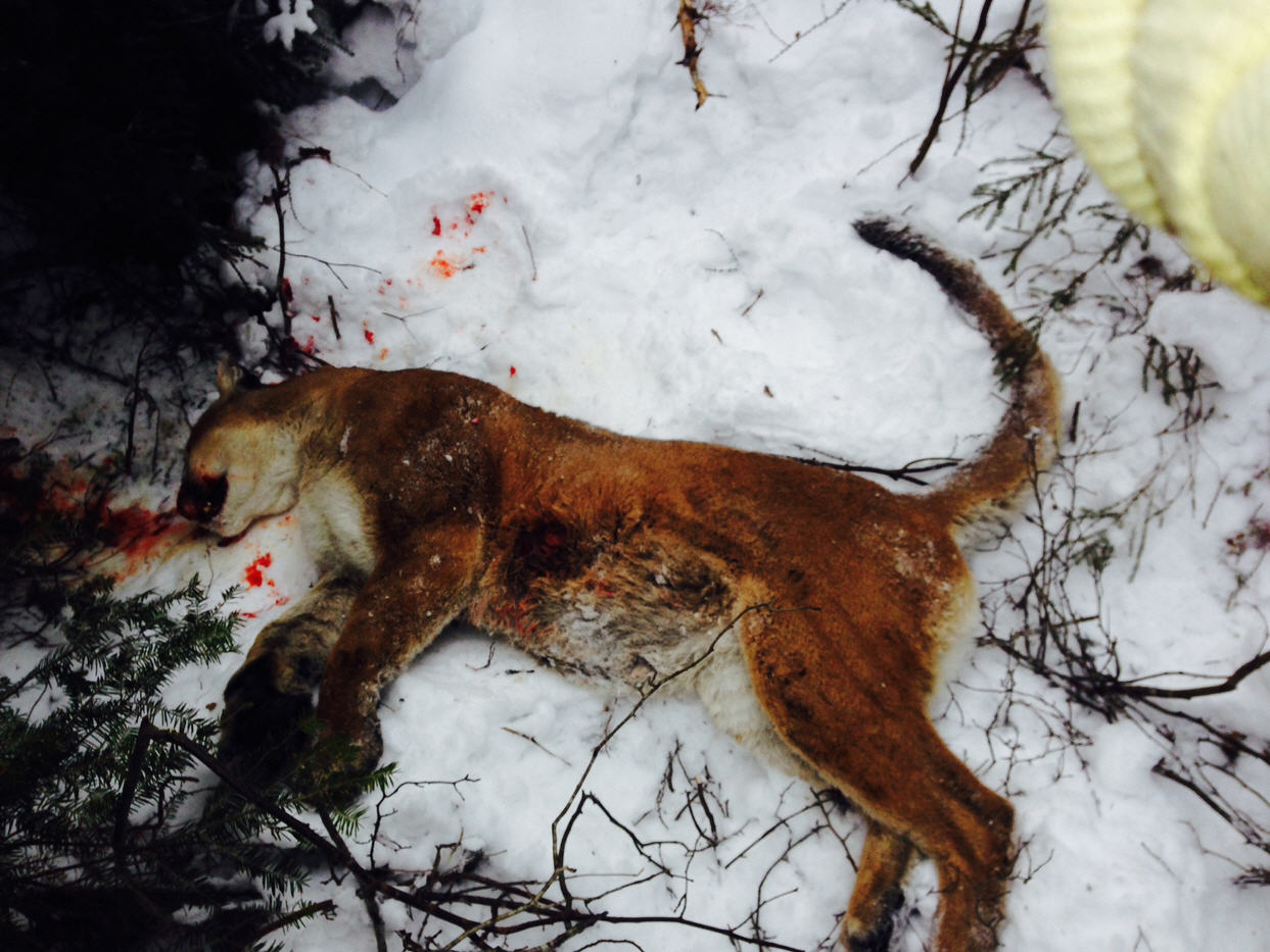 Michigan schoolcraft county germfask - Two Of Three Suspects Plead Guilty In Illegal Killing Of Cougar
